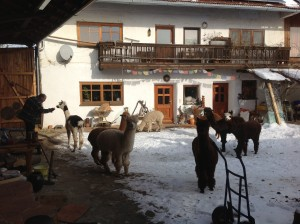 Alpakas im Innenhof